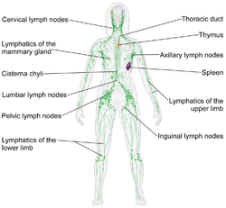 LymphaticSystem_Female