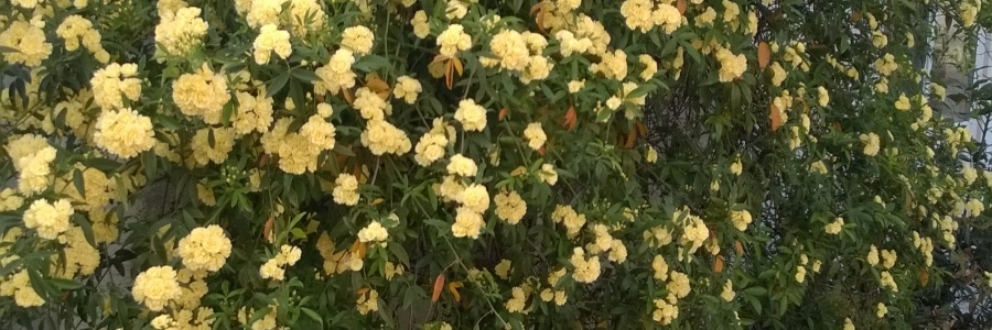 Shrub with yellow flowers