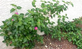 small green bush with pink flowers