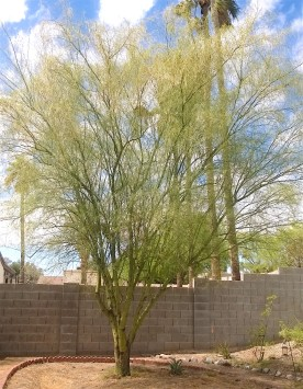 large palo verde