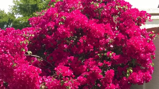shrub with many pink blooms