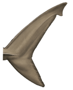 Shark's tail