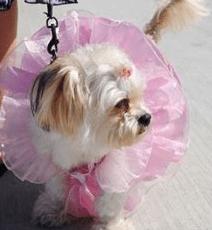 Dog wearing tutu