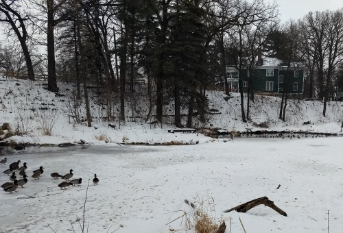 Ducks at a frozen pond